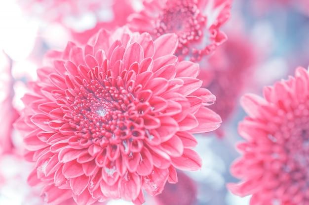 Chrysanthème de fleurs colorées faite avec dégradé pour le fond, résumé, texture Photo Premium