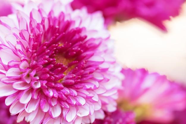 Chrysanthème de fleurs colorées pour le fond Photo Premium