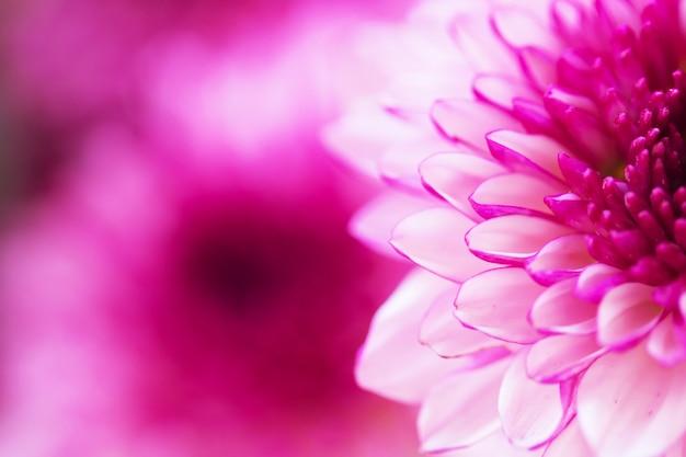 Chrysanthème de fleurs colorées Photo Premium