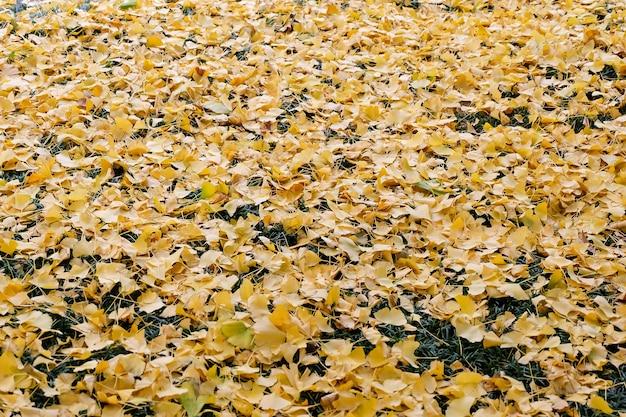 Chute des feuilles de ginkgo sur l'herbe. Photo Premium