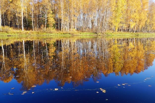 Chute d'or. bouleau à feuilles jaunes se reflétant dans la rivière. Photo Premium