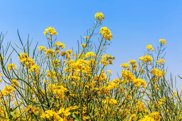 Ciel bleu et fleurs de colza jaunes Photo Premium