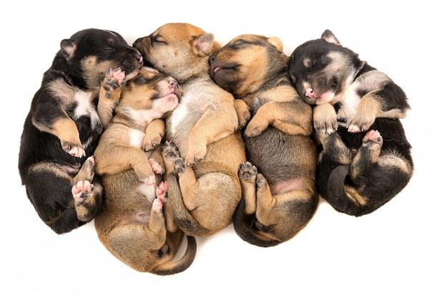 Cinq chiot nouveau-né sur la vue de dessus de fond blanc Photo Premium