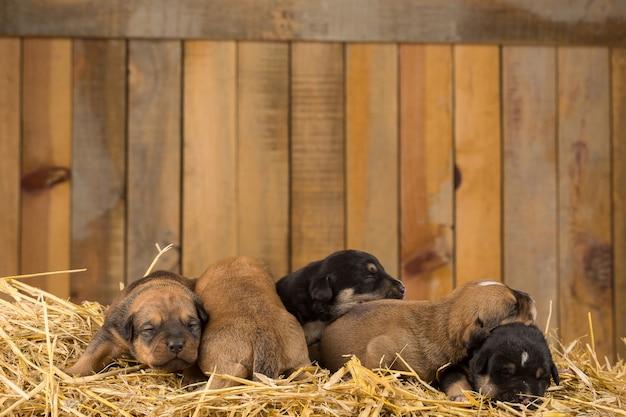 Cinq chiots nouveau-nés dans une grange Photo Premium