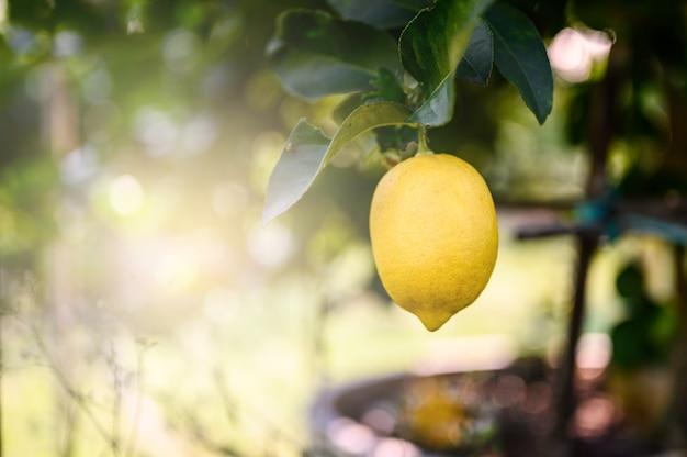 Citrons mûrs ou citron en croissance, bouquet de citron frais sur une branche de citronnier dans un jardin ensoleillé. Photo Premium