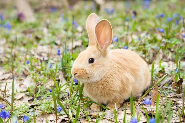 Une clairière de fleurs printanières bleues avec un petit lapin rouge moelleux, un lapin de pâques, un lièvre dans un pré Photo Premium
