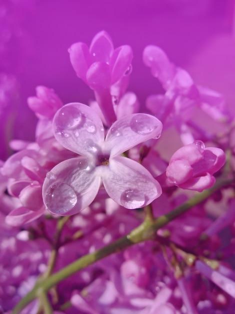 Close-up de belles fleurs lilas Photo Premium