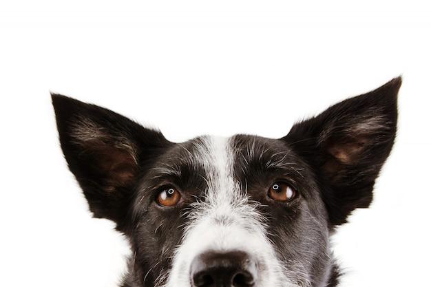 Close-up Curieux Border Collie Dog Eyes. Photo Premium