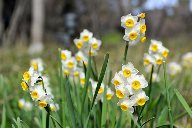 Close-up de jonquilles en fleurs Photo gratuit