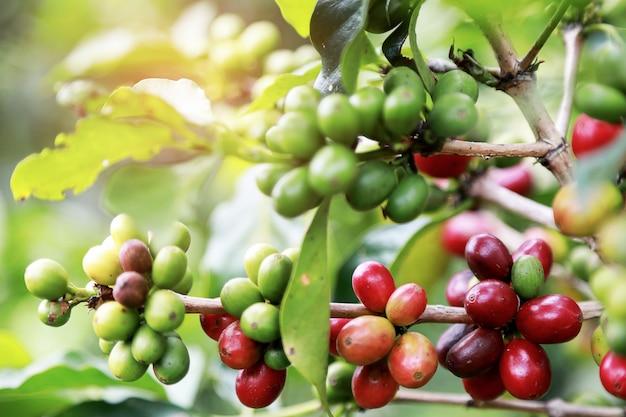 Closeup arabica coffee berry bean mûrissant sur les caféiers avec des feuilles au café jardin. Photo Premium