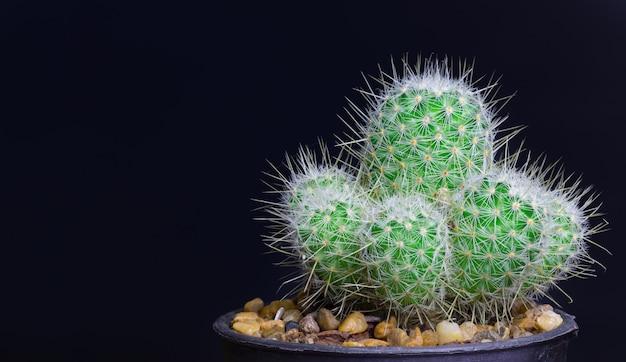 Closeup Cactus Isoler Sur Fond Noir Photo Premium
