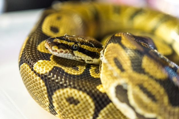 Closeup coloré python dans la nuit, flou, mise au point sélective Photo Premium