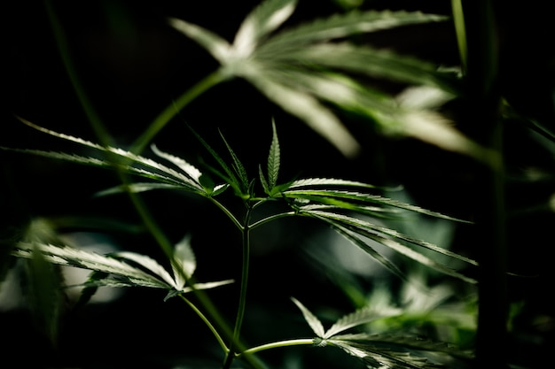 Closeup Feuille Marijuana Cannabis Photo gratuit