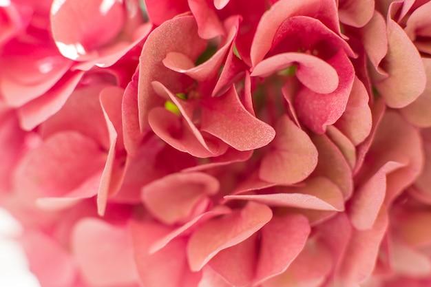 Closeup pétales d'hortensia frais Photo Premium