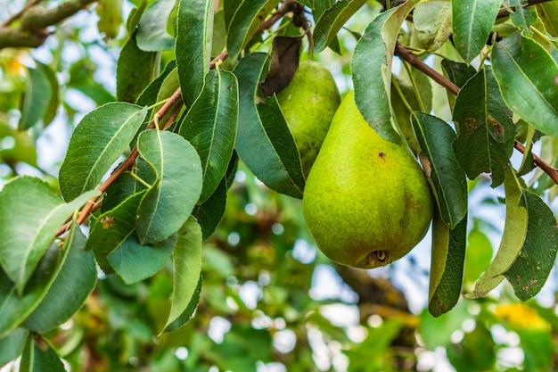 Closeup, Poires, Arbre, Branches, Entouré, Verdure Photo gratuit