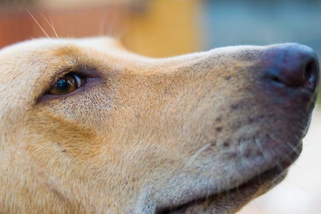 Closeup portrait de chien rouge Photo Premium