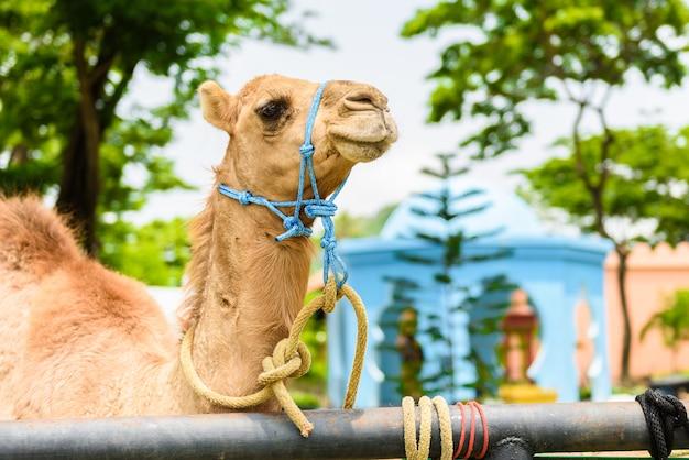 Closeup Visage Souriant De Camel à La Tête Photo Premium