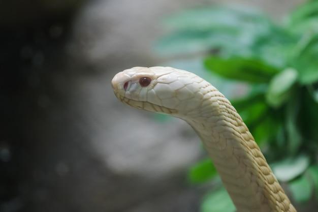 Un Cobra Blanc Regardant à Travers Le Placard En Verre Du Zoo Photo Premium