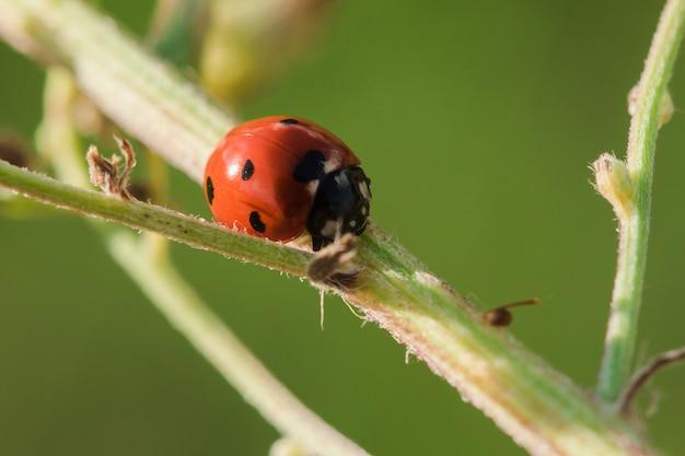 La coccinelle sur l'arbre est classée comme un scarabée invertébré Photo Premium