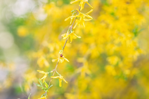Coccinelle sur une fleur de forsythia jaune. arrière-plan flou gros plan, mise au point sélective douce. Photo Premium
