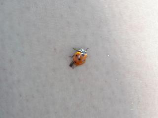 Coccinelle, insecte Photo gratuit