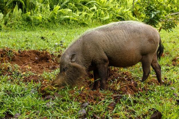 Cochon barbu creuse la terre Photo Premium