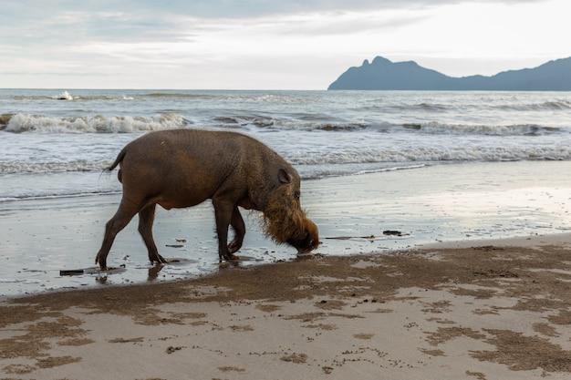 Cochon barbu marchant le long de la plage. Photo Premium