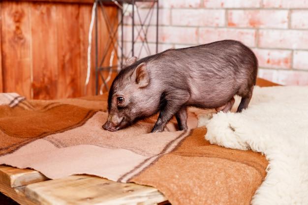 Cochon De Cochon, Petit Cochon Noir. Concept De L'horoscope Chinois. Mini Cochon Noir. Année Chinoise. Bonne Année. Calendrier Chinois. Photo Premium
