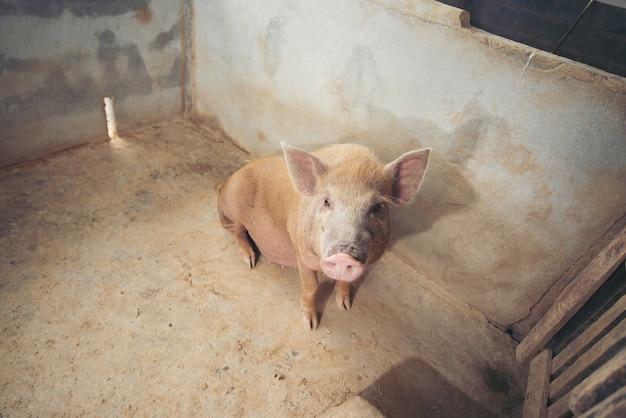 Cochon dans la ferme locale Photo Premium