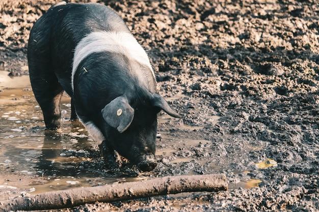Cochon De Ferme Avec Une étiquette D'oreille Visible En Quête De Nourriture Sur Un Sol Boueux Près D'un Journal Photo gratuit