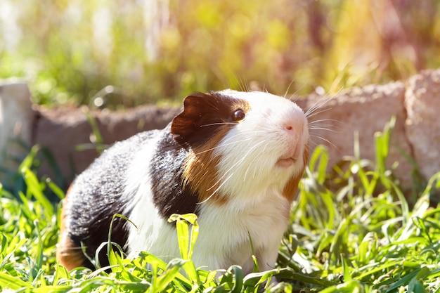 Cochon D'inde Mignon Sur L'herbe Verte Dans Le Jardin Photo gratuit