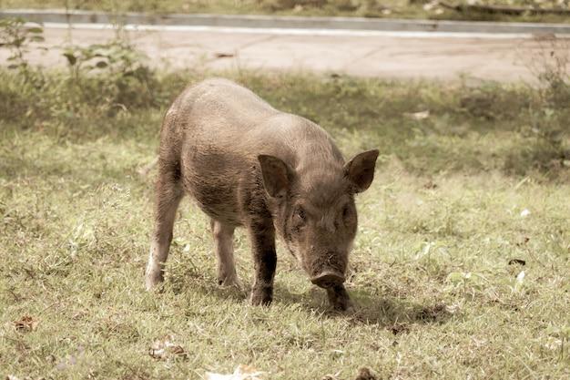 Le Cochon Marche Pour Manger De L'herbe Photo Premium