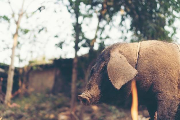 Cochon Noir Dans Une Ferme Locale, Thaïlande Photo Premium