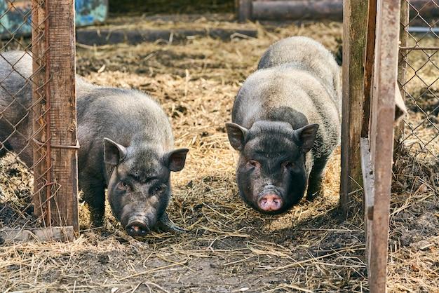 Cochon Vietnamien à Ventre Noir. Porcs Herbivores. L'élevage Photo Premium