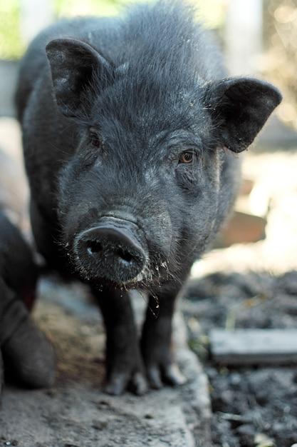 Cochon Vietnamien à Ventre Noir. Porcs Herbivores Photo Premium