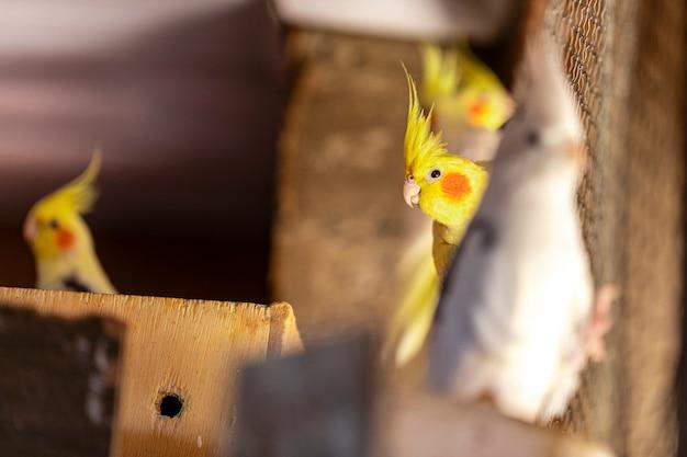 Le Cockatiel, également Connu Sous Le Nom D'oiseau Weiro, Ou Quarrion Photo Premium