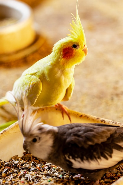 Le Cockatiel, également Connu Sous Le Nom D'oiseau Weiro, Ou Quarrion Photo Premium