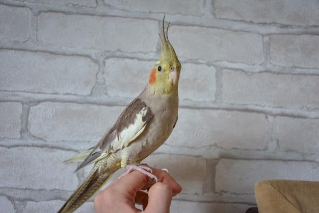 Cockatiel Perroquet Est Assis Sur La Main, Portrait D'un Perroquet, Gros Plan Cockatiel Photo Premium