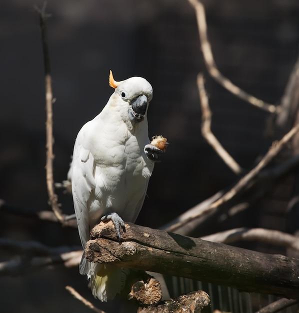 Cockatoo blanc Photo gratuit