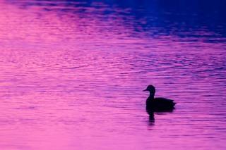 Cold Duck Photo gratuit