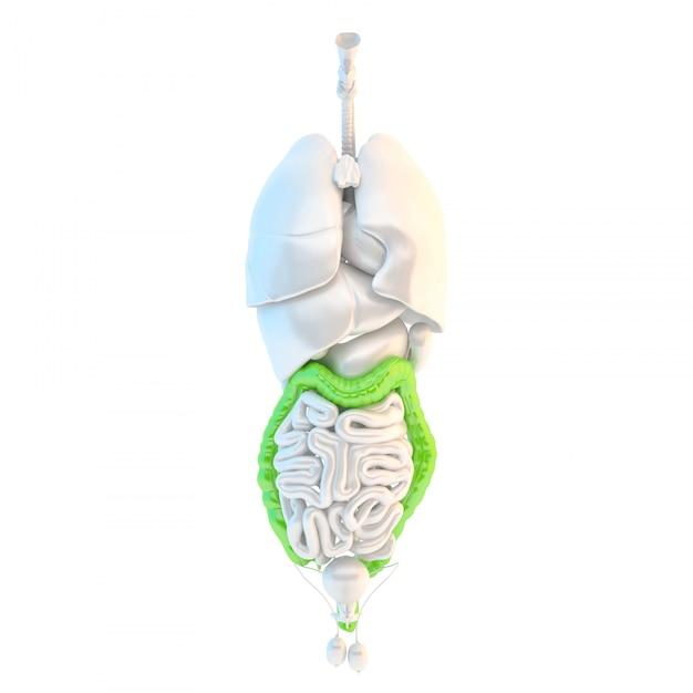 Côlon humain en bonne santé. illustration 3d isolé. contient un tracé de détourage Photo Premium
