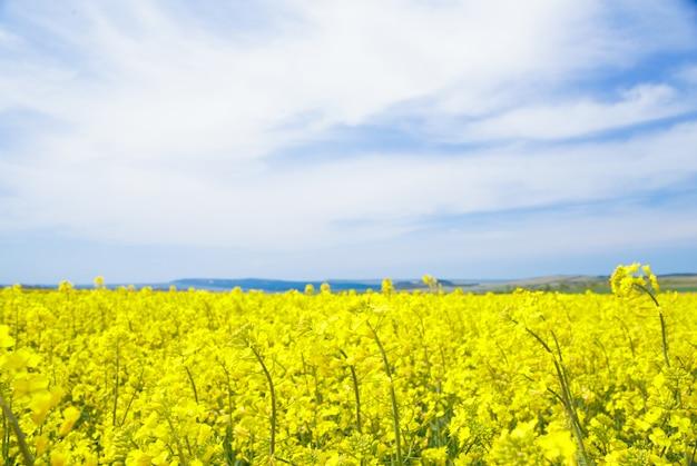 Colza jaune champ. Photo gratuit
