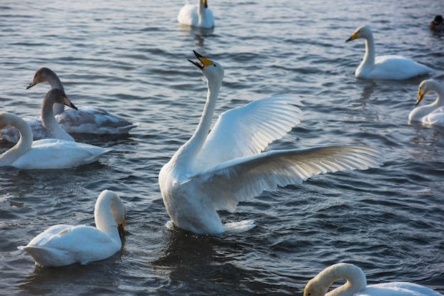Combattre les cygnes blancs Photo Premium