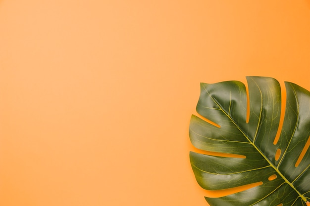 Composition de feuille de plante verte monstera Photo gratuit