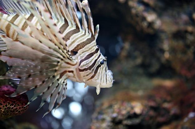 Concentrez le lionfish et dangereux. Photo Premium