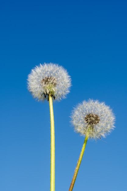 Concept abstrait de l'été. fleur de pissenlit sur fond bleu. Photo Premium