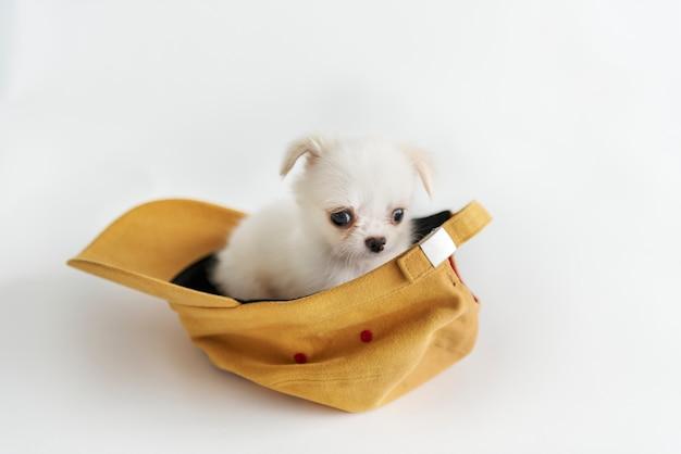 Concept de chien chihuahua miniature Photo gratuit