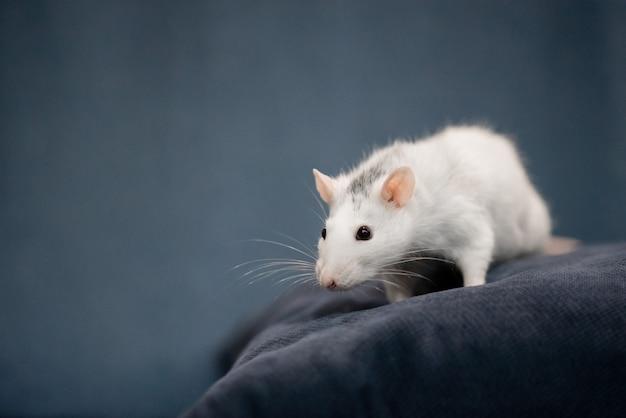 Concept De Nouvel An. Mignon Rat Domestique Blanc Dans Un Décor De Nouvel An. Le Symbole De 2020 Est Un Rat Photo Premium
