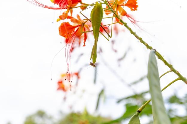 Concept de soin pour la nature. détail de l'insecte mante ou louva-deus. la mante religieuse se bouchent. insecte brésilien. Photo Premium