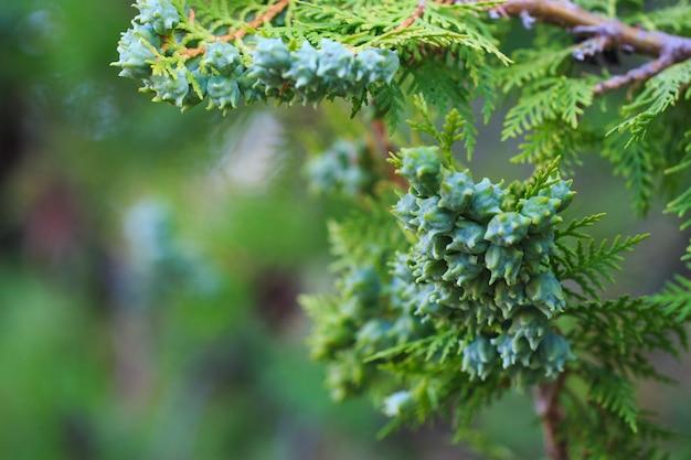Cônes Verts De Thuya Western Sur Une Branche, Gros Plan Photo Premium